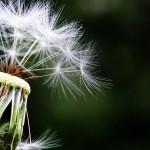 dandelion-1452219_960_720